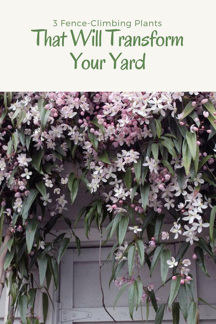 3 Fence Climbing Plants That Will Transform Your Yard L Essenziale